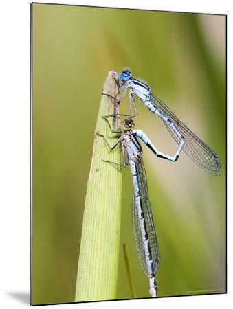 Common Damselfly, Male and Female Pre Wheel Position, UK-Mike Powles-Mounted Photographic Print