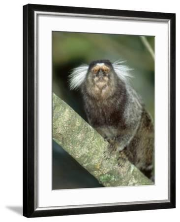 White Tufted-Eared Marmoset, Tijuca National Park, Brazil-Mark Jones-Framed Photographic Print