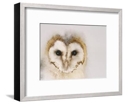 Barn Owl, Portrait of Face-Les Stocker-Framed Photographic Print