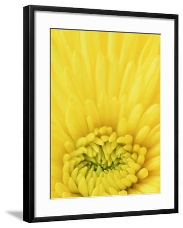 Close-up Pattern in Yellow Mum-Adam Jones-Framed Photographic Print