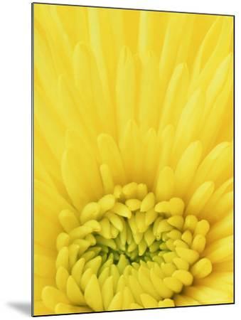 Close-up Pattern in Yellow Mum-Adam Jones-Mounted Photographic Print