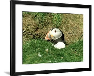 Puffin, Peering out of Hole, Shetland-David Tipling-Framed Photographic Print