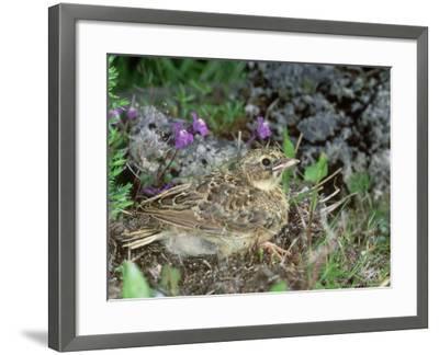 Skylark, Young-Les Stocker-Framed Photographic Print
