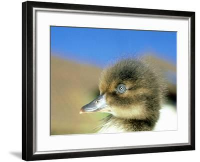 Tufted Duck, Young, England, UK-Les Stocker-Framed Photographic Print