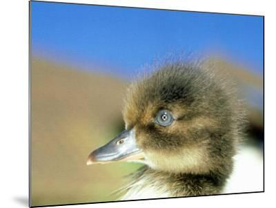 Tufted Duck, Young, England, UK-Les Stocker-Mounted Photographic Print