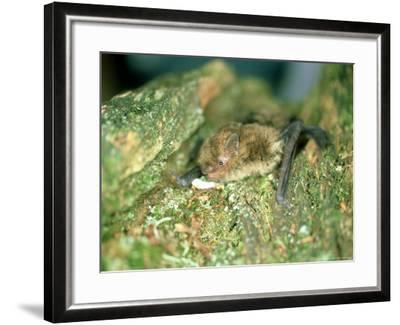 Soprano Pipistrelle Bat, Aylesbury, England-Les Stocker-Framed Photographic Print