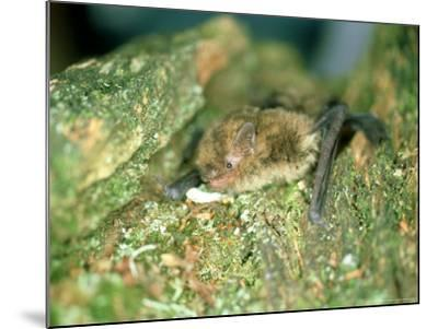 Soprano Pipistrelle Bat, Aylesbury, England-Les Stocker-Mounted Photographic Print