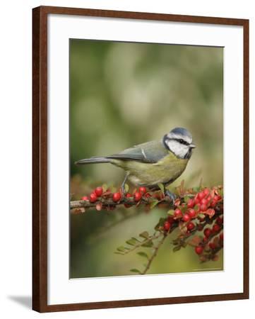 Blue Tit, Perching, Middlesex, UK-Elliot Neep-Framed Photographic Print