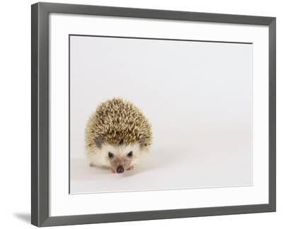 Four-Toed Hedgehog-Les Stocker-Framed Photographic Print