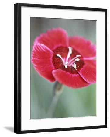 Dianthus Red Dwarf (Pinks)-Lynn Keddie-Framed Photographic Print
