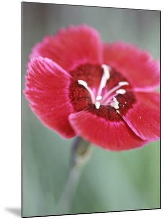 Dianthus Red Dwarf (Pinks)-Lynn Keddie-Mounted Photographic Print