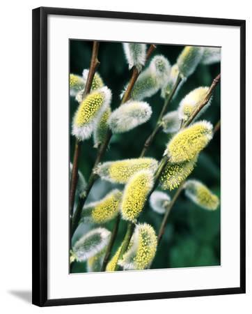 Salix Acutifolia (Pussy Willow), Close-up of Catkins, February-Michele Lamontagne-Framed Photographic Print