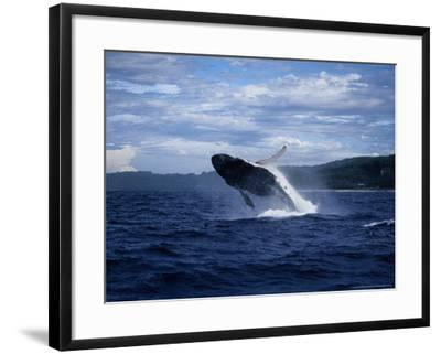 Humpback Whale, Breaching, Polynesia-Gerard Soury-Framed Photographic Print