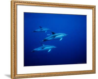 Short-Beaked Common Dolphins, Underwater, Port-Gerard Soury-Framed Photographic Print