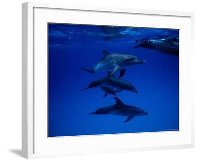 Atlantic Spotted Dolphins, Group Swimming, Bahamas-Gerard Soury-Framed Photographic Print