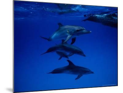 Atlantic Spotted Dolphins, Group Swimming, Bahamas-Gerard Soury-Mounted Photographic Print