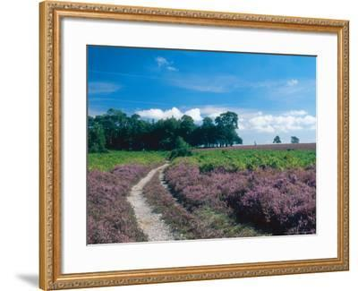 Bell Heather and Ling, Ibsley Common, Hampshire, UK-Ian West-Framed Photographic Print