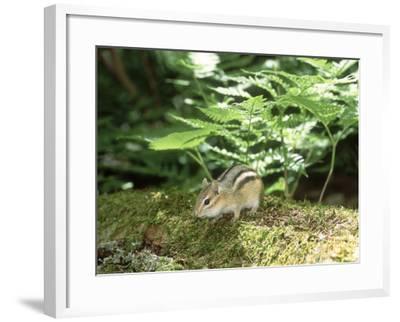 Eastern Chipmunk, Baxter State Park, USA-Roy Toft-Framed Photographic Print