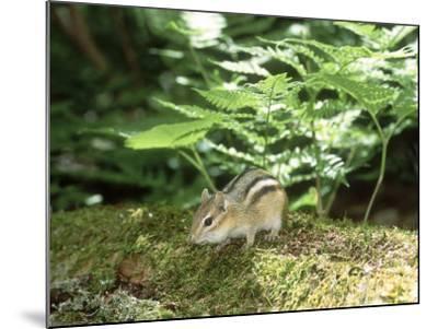 Eastern Chipmunk, Baxter State Park, USA-Roy Toft-Mounted Photographic Print