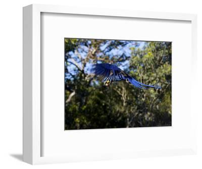 Hyacinth Macaw, Parrot in Flight, Brazil-Roy Toft-Framed Photographic Print