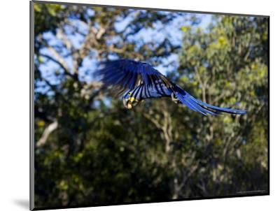 Hyacinth Macaw, Parrot in Flight, Brazil-Roy Toft-Mounted Photographic Print