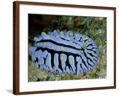 Striped Nudibranch, Fury Shoal, Egypt-Mark Webster-Framed Photographic Print