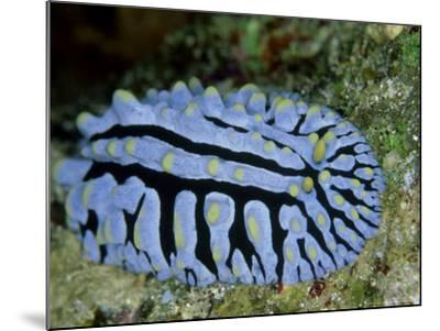Striped Nudibranch, Fury Shoal, Egypt-Mark Webster-Mounted Photographic Print