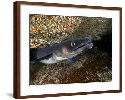 Conger Eel, Emerging from Rock Crevice, UK-Mark Webster-Framed Photographic Print