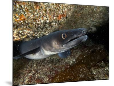 Conger Eel, Emerging from Rock Crevice, UK-Mark Webster-Mounted Photographic Print