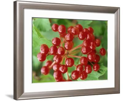 Guelder Rose, Berries, Sussex, UK-Ian West-Framed Photographic Print