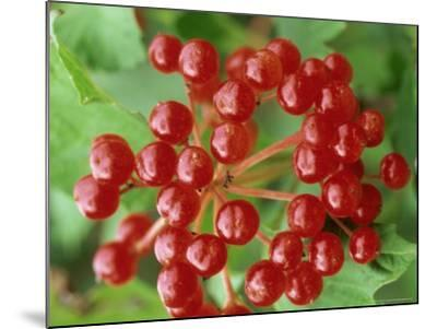 Guelder Rose, Berries, Sussex, UK-Ian West-Mounted Photographic Print