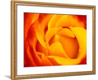 "Rosa ""Dicobey"" (Rosa ""Tequila Sunrise"")-Lynn Keddie-Framed Photographic Print"