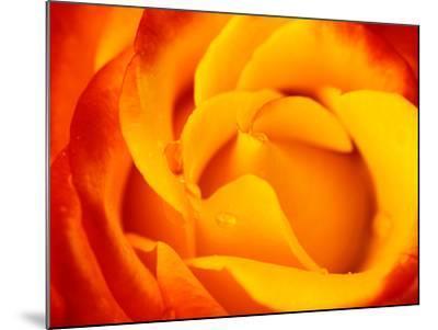 "Rosa ""Dicobey"" (Rosa ""Tequila Sunrise"")-Lynn Keddie-Mounted Photographic Print"