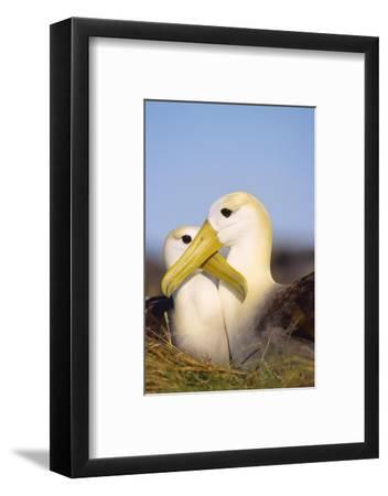 Waved Albatross, Pair Bonding, Espanola Island, Galapagos-Mark Jones-Framed Photographic Print