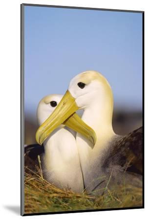 Waved Albatross, Pair Bonding, Espanola Island, Galapagos-Mark Jones-Mounted Photographic Print