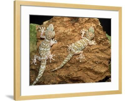 Big Headed Gecko, Male and Female-Andrew Bee-Framed Photographic Print