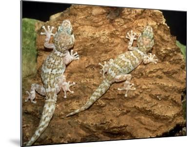 Big Headed Gecko, Male and Female-Andrew Bee-Mounted Photographic Print
