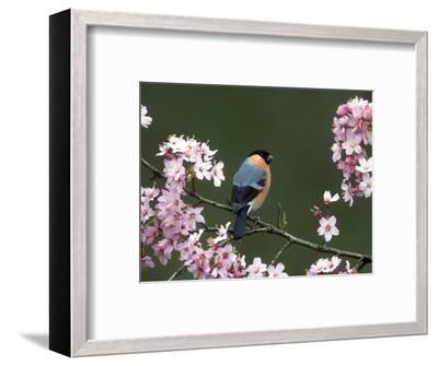 Bullfinch, Pyrrhula Pyrrhula, Male, Feeding on Cherry Blossom, UK-Mark Hamblin-Framed Photographic Print