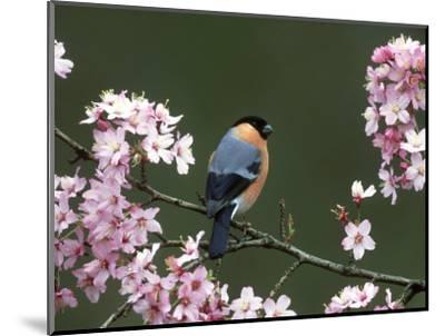 Bullfinch, Pyrrhula Pyrrhula, Male, Feeding on Cherry Blossom, UK-Mark Hamblin-Mounted Photographic Print
