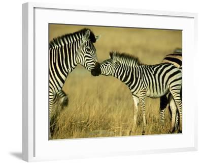 Burchells Zebra Youngster Greeting Mother Botswana, Southern Africa-Mark Hamblin-Framed Photographic Print