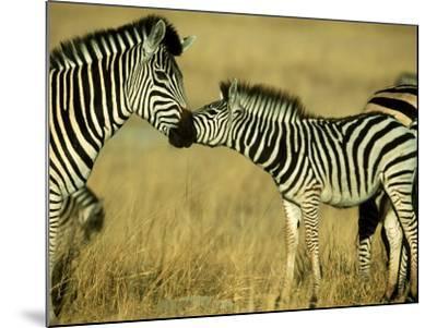 Burchells Zebra Youngster Greeting Mother Botswana, Southern Africa-Mark Hamblin-Mounted Photographic Print
