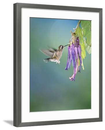 Speckled Hummingbird, West Slope Cloud Forest, Ecuador-Mark Jones-Framed Photographic Print