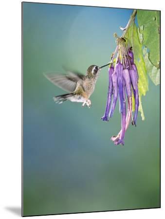 Speckled Hummingbird, West Slope Cloud Forest, Ecuador-Mark Jones-Mounted Photographic Print