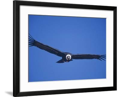 Andean Condor, Peru-Mark Jones-Framed Photographic Print