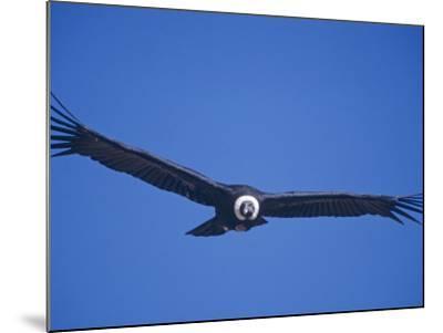 Andean Condor, Peru-Mark Jones-Mounted Photographic Print