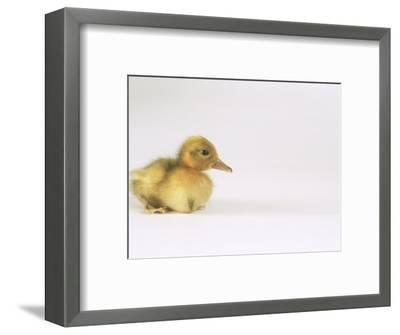 Domestic Duck, Duckling-Les Stocker-Framed Photographic Print