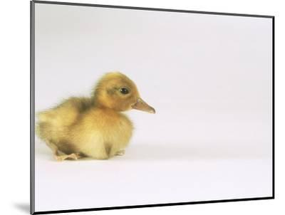 Domestic Duck, Duckling-Les Stocker-Mounted Photographic Print