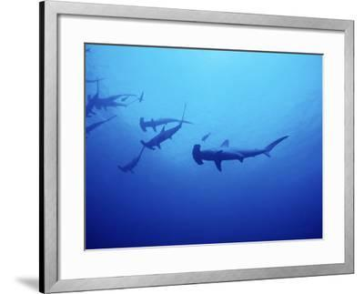 Scalloped Hammerhead Shark, Group, Red Sea-Gerard Soury-Framed Photographic Print