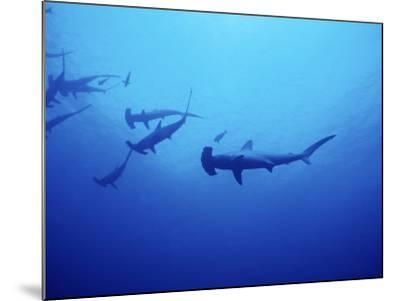 Scalloped Hammerhead Shark, Group, Red Sea-Gerard Soury-Mounted Photographic Print
