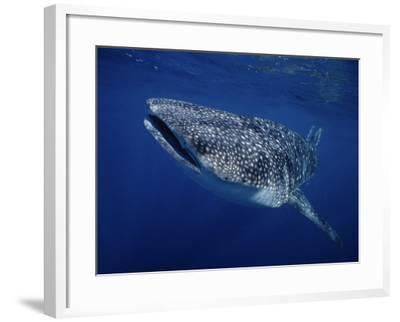 Whale Shark, Swimming, Australia-Gerard Soury-Framed Photographic Print